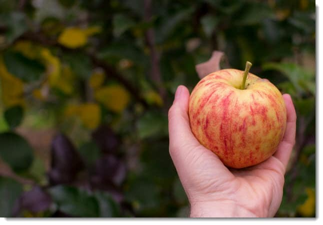 Hand holding an apple - Low hanging fruit